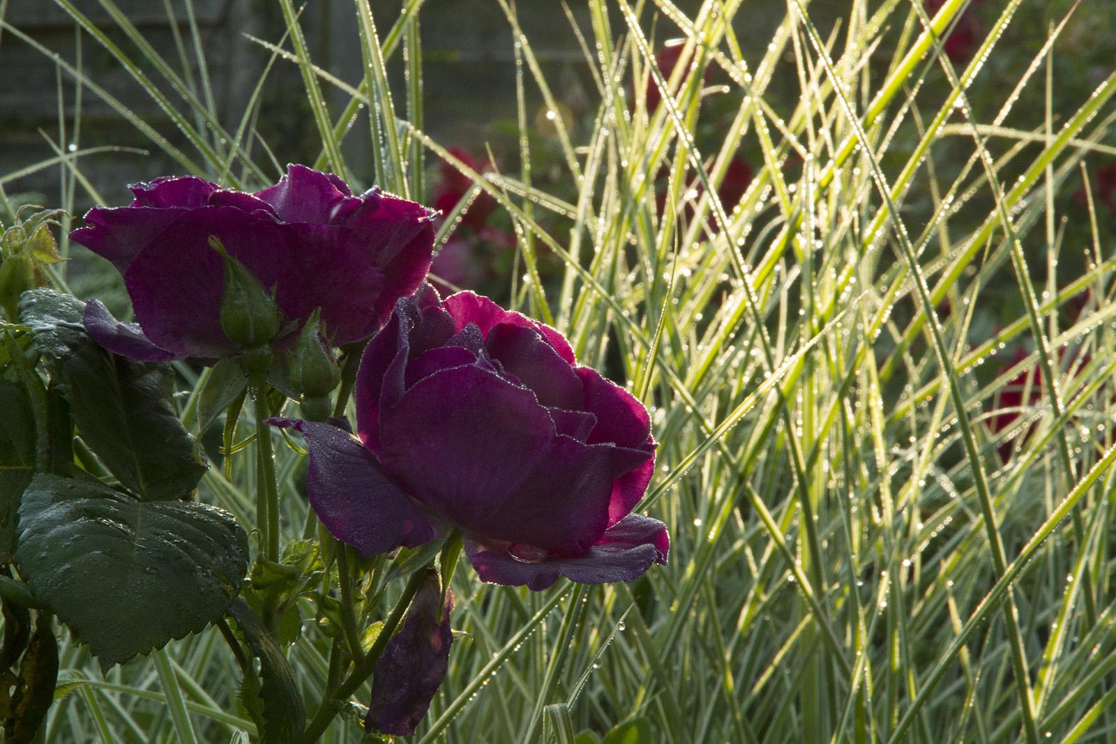 Rendez vous aux jardins et au jardin du liseron - Comment eradiquer le liseron ...